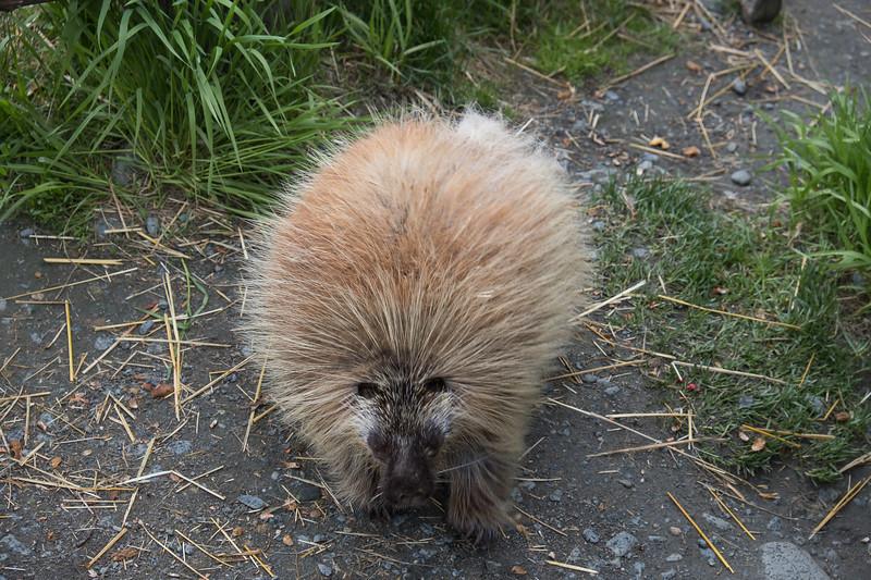 Porcupine at the Alaska Wildlife Preservation Center in Kenai, Alaska.