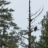 First Bald Eagle sighting in Alaska, outside Ketchikan.