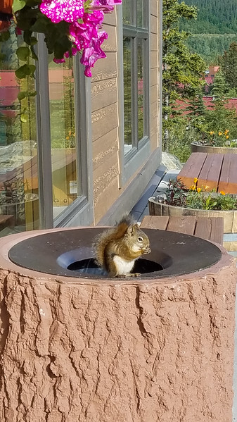 Alaskan Rock Squirrel eating popcorn from a garbage can at the Fairbanks Princess Riverside Lodge in Alaska.
