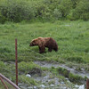 Brown Bear at the Alaska Wildlife Preservation Center in Kenai, Alaska.