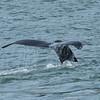 Humpback Whale Fluke, Auke Bay, Juneau, Alaska.