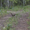 Why did the Quail cross the road?  To get to the other side. Seen on the Copper Country Discovery Tour, Alaska.