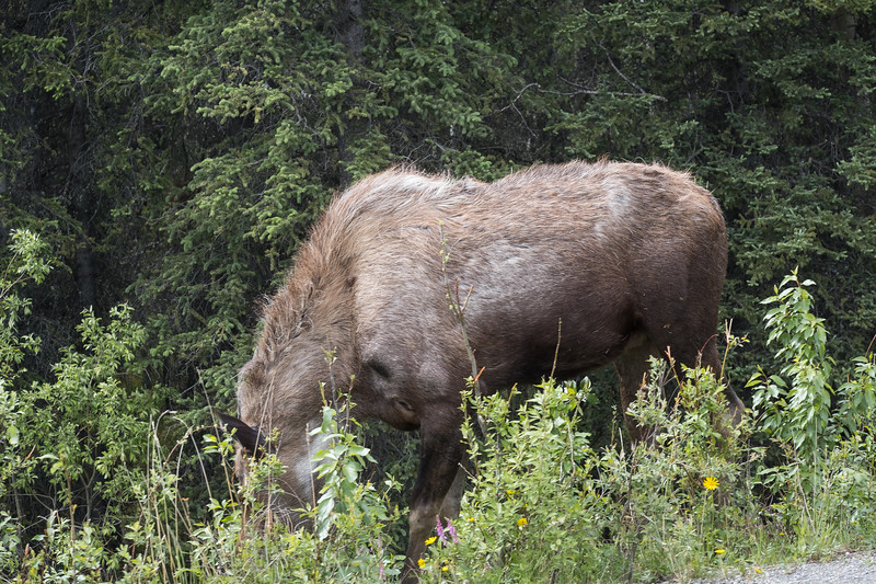 Mommy Moose, Denali National Park, Alaska.