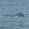 Humpback Whale in Auke Bay, Juneau, Alaska.