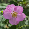 Alaskan Wild Rose, Fairbanks, Alaska.
