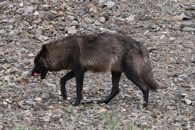 Gorged wolf licking the Caribu off his chops, Denali National Park, Alaska.