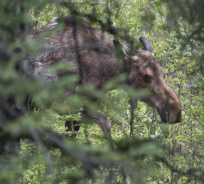 Moose in the bushes, Denali National Park, Alaska.