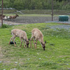 Deer at the Alaska Wildlife Preservation Center in Kenai, Alaska.
