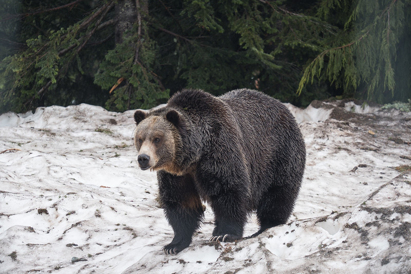 Grinder the Grizzly Bear at the top of Grouse Mountain, Vancouver, B.C.