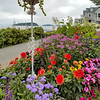 Summer flowers of Bar Harbor, Maine.