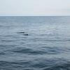 Minke Whales outside Portsmouth, Maine Harbor.