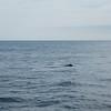 Minke Whale off the coast of Portsmouth, Maine.