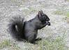 Canadian Black Squirrel looking for sympathetic tourists in Quebec's Old Port, Quebec, Canada.