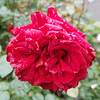 A rose in the Portland Rose Test Gardens.