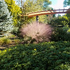 The rare Pink Mothygrass in full bloom at the Missouri Botanical Gardens in Saint Louis.
