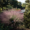 A close up of Pink Muthygrass in  bloom at the Missouri Botanical Gardens in Saint Louis.