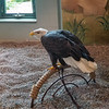 One of the residents at the National Eagle Center, Red Wing, MN.