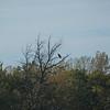 Young Bald Eagle outside Davenport, Iowa.
