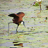 Beneath the bar at the Crocodile Lodge where we gathered, the African Jacana shows why its nickname is 'lilyhopper'