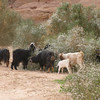 Goats herded by veiled Bedouin woman