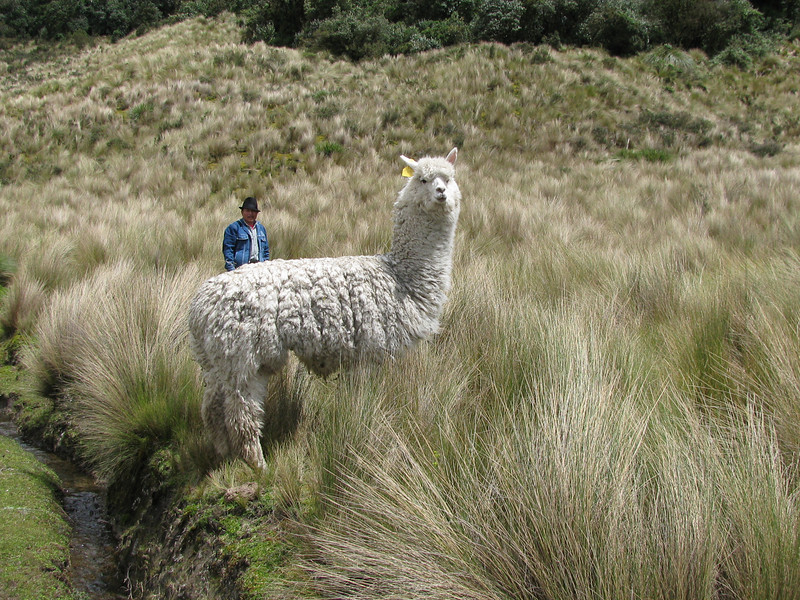 This alpaca has become separated from the herd perhaps by a puma.<br /> <br /> A mounted shepherd patrolls this rough ground