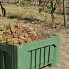 The grape harvest was early this year so we saw very little picking