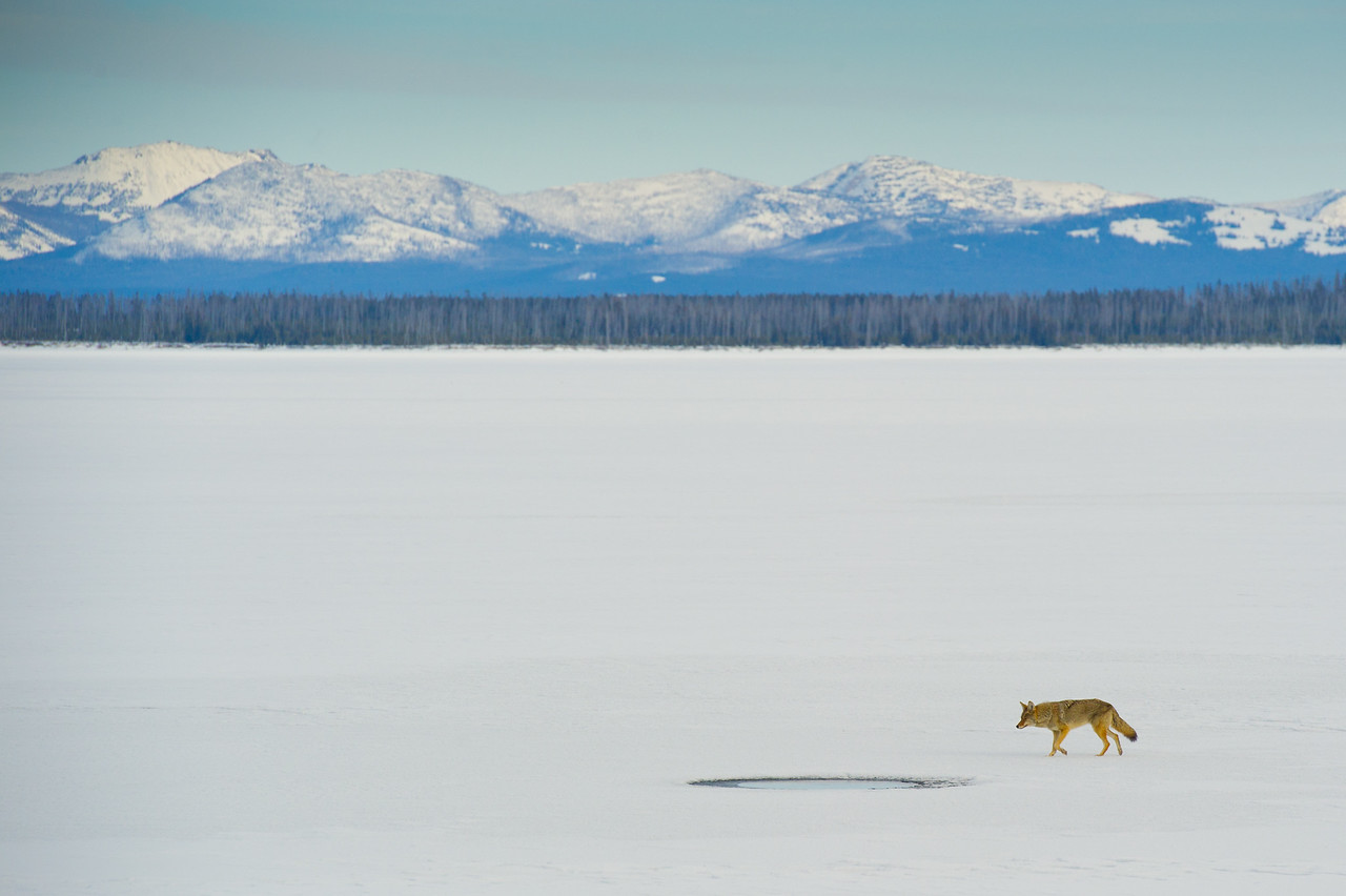 Coyote at a hole in the ice - yellowstone National Park
