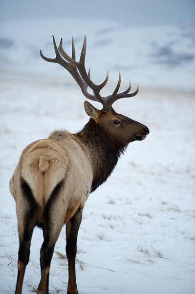 Elk - Jackson Wyoming