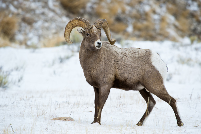 Big Horn Sheep - Jackson Wyoming