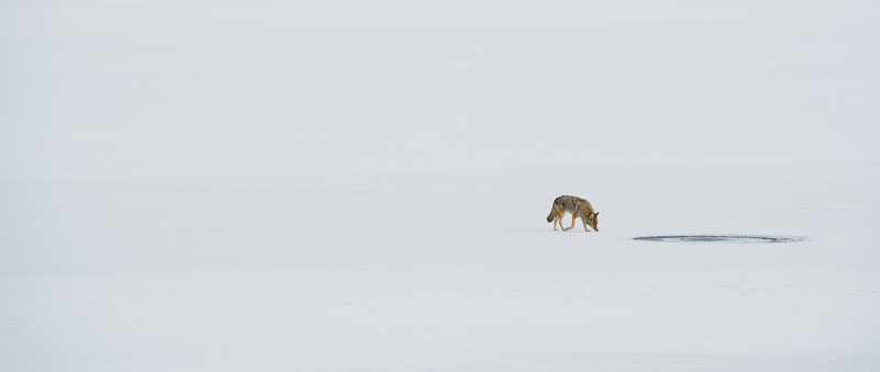 Coyote on a frozen lake - yellowstone National Park
