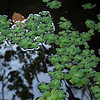 weed pond reflection
