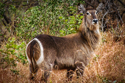 Waterbuck, Kruger National Park