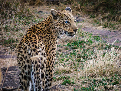 Leopard on the Prowl (blind in one eye) - Kruger National Park