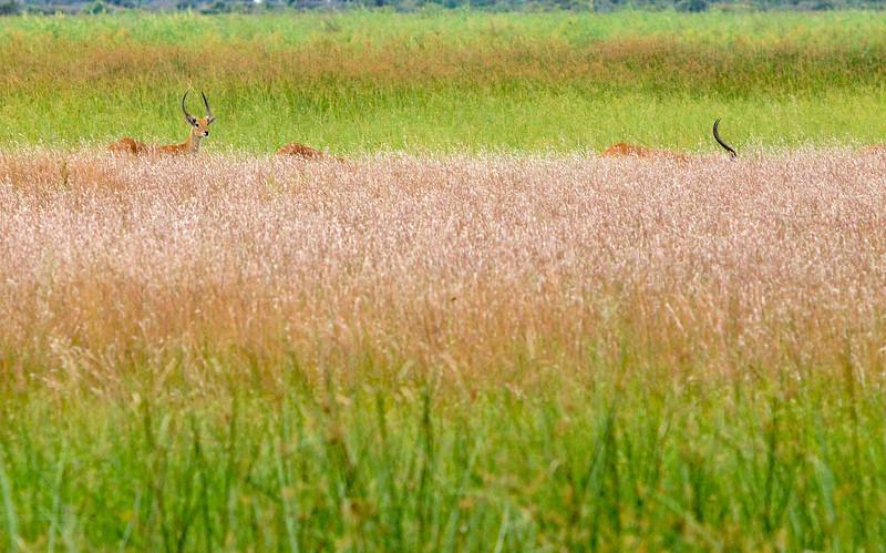Личи. Антилопы, живущие на полузатопленной суше.