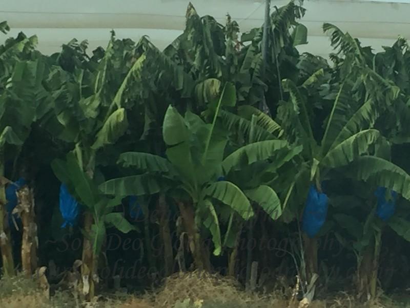 Lots of green bananas!