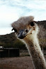 """OSTRICH PORTRAIT<br /> """"How about you, amigo? You got anything to eat?"""""""