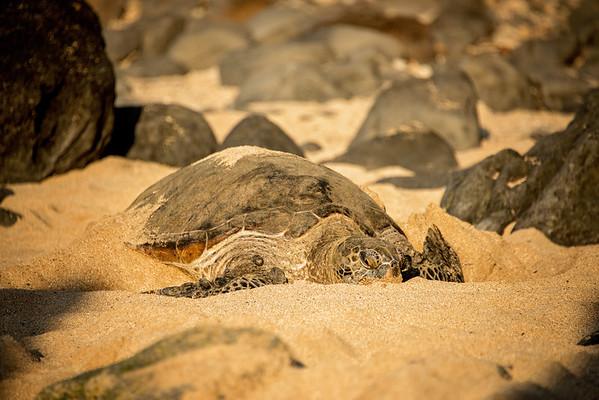 01.26.18_Turtles + Monk Seal at Hookipa