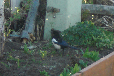 An interesting Magpie was outside the window for about 30 minutes. I asked Tom about them and he confirmed they were Magpies, but I had never seen one with blue on it's back.
