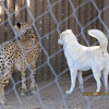 These show-cheetah's all have dog friends!  They go everywhere together...