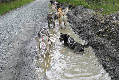 On our course, they purposely stop at the water to allow the dogs to cool off.