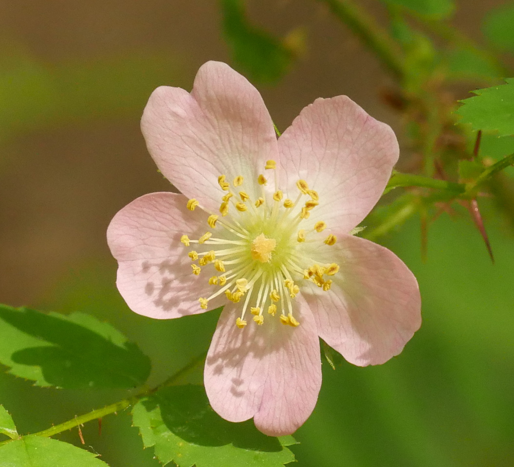 There were several wood roses in bloom close to the trail to the creek.