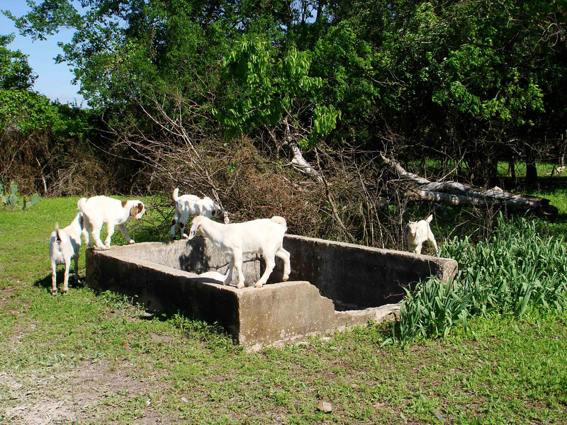 GOAT FUN<br /> I hope the goats are having as much fun playing on and in the fish pond as we did. Come to think of it, they're probably having more, since they'll never have to clean out all the scum on the pond's bottom like we did. That was a fun job -- NOT!