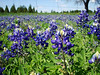 BLUEBONNETS<br /> A quick stop to stretch the legs and admire the wildflowers of Spring.