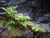 CONTRAST<br /> This a shot to show off not only the contrast between the delicacy of the ferns and the unforgiving nature of the rock, but also to show how these ferns are still in full color.