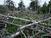 SO MANY TREES<br /> It's always sad to see this many trees down in one area. There are a number of factors (at least three: acid fog, pine beetle, and some kind of blight) that are killing off the trees on Isle au Haut and here we see the result. Dead trees + high winds = a tree graveyard.