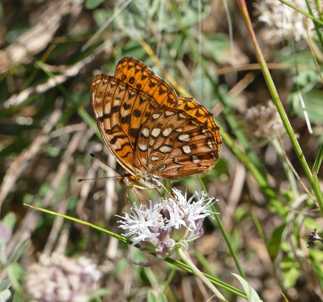 Butterflies like this checkerspot were flitting from flower to flower, staying a few seconds on each one.  It wasn't easy to get photos and I didn't know that the camera that I was using wasn't producing sharp pictures.