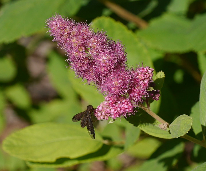 We first saw and IDed this spiraea on Mount Shasta on an earlier visit.  We often associate plants with the place where we first saw them.  The very dark insect provided contrast to the pink flowers.