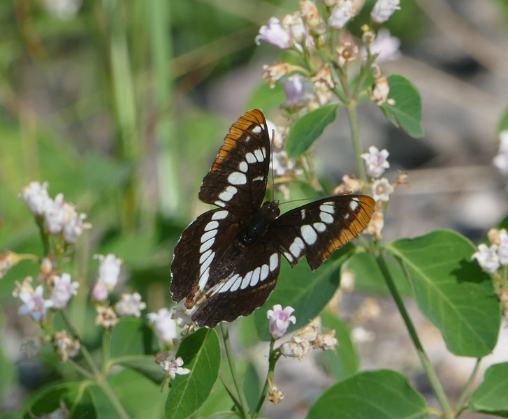 And this Lorquin's admiral on a manzanita.  I liked the angle of the wings in this picture.