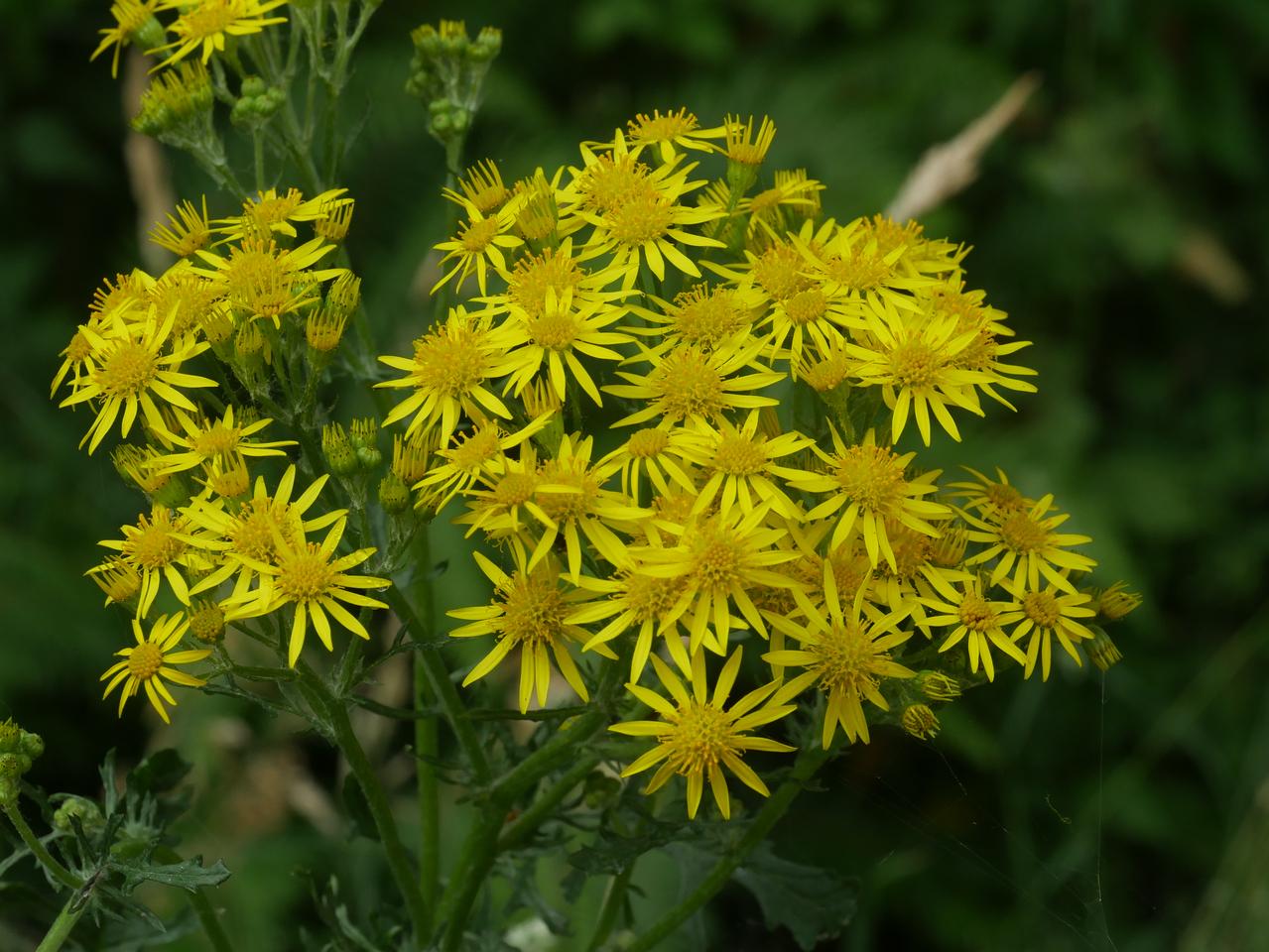 yellow flowers_-_P1120862