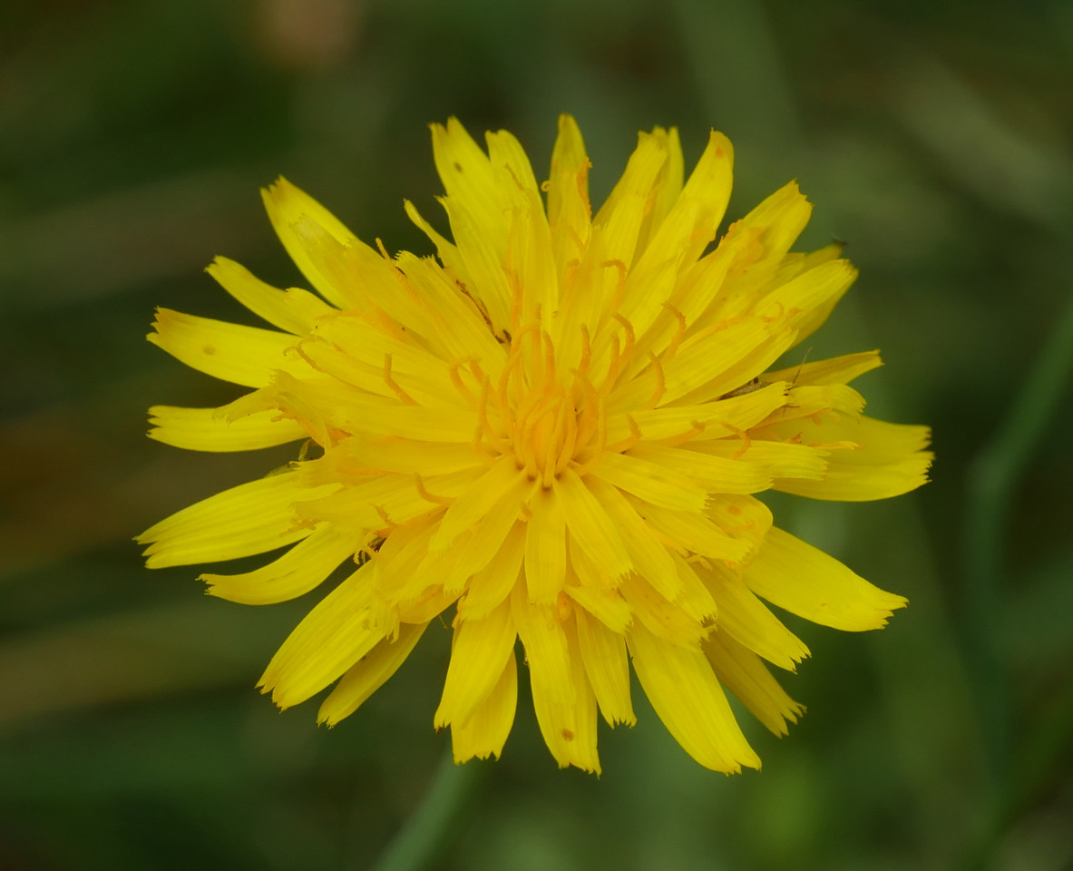 We weren't sure whether this dandelion was a native or not.